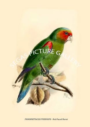 PIONOPSITTACUS PYRRHOPS - Red-Faced Parrot